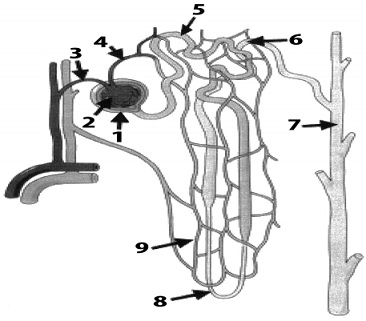 350_structure of nephron.jpg