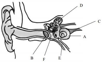 689_human ear.jpg